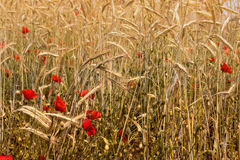 Röda vallmo och vetefält Royaltyfria Foton