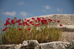 Röda vallmo på de forntida stenarna i magnesiaannonsen Maeandrum, Turke Royaltyfria Foton