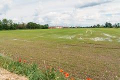Röda vallmo på förgrund till ett risfältfält Royaltyfria Foton