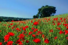 Röda vallmo på grön våräng med eken i bakgrunden Royaltyfri Foto