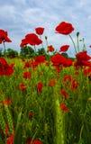 Röda vallmo på våräng Arkivfoto