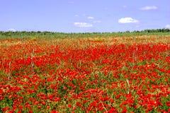 Röda vallmo på våren meadow1 Royaltyfri Bild