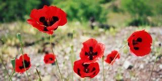Röda vallmo - retro filter Antalya landskap, Turkiet Fotografering för Bildbyråer