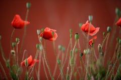 Röda vallmoblommor fotografering för bildbyråer