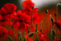 Röda vallmoblommor arkivfoto