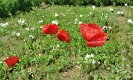 Röda vallmoblommor - Eutopia trädgårdar Arkivbilder