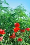 Röda vallmoblommor och cannabis - marijuana Royaltyfri Fotografi