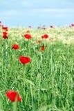 Röda vallmoblommor och grönt vete Arkivbilder