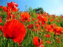 röda vallmor Royaltyfri Fotografi