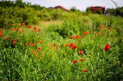 röda vallmor Arkivfoton