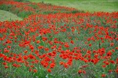 röda vallmor Royaltyfri Bild