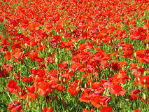röda vallmor Royaltyfria Foton