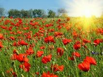Röda vallmor field i solsken Arkivbilder
