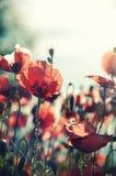 Röda vallmor i Provence Fotografering för Bildbyråer