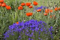 Röda vallmor och purpura blommor Arkivfoto