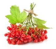 Röda viburnumbär Royaltyfria Foton