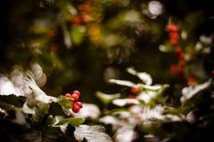 Röda Viburnumbär i trädet Royaltyfria Foton