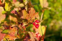 Röda Viburnumbär i trädet Arkivbilder