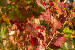 Röda Viburnumbär i trädet Royaltyfri Fotografi