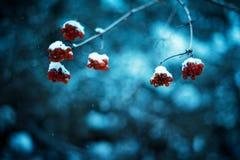 Röda viburnumbär med vinterbakgrund Höst Kallt väder Manhanden håller filialer av viburnumen vinter för blåa snowflakes för bakgr arkivfoton