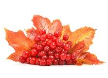 Röda viburnumbär och höstsidor Royaltyfria Bilder