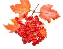 Röda viburnumbär och höstsidor Royaltyfri Foto