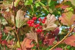 Röda Viburnumbär på trädet Arkivfoton