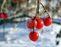 Röda viburnumbär som frysas på filialcloseupen Royaltyfri Fotografi
