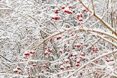 Röda Viburnumbär under insnöat vintern under ett snöfall Royaltyfri Foto