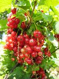 Röda vinbär Arkivbilder