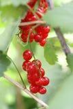 Röda vinbär Royaltyfria Bilder