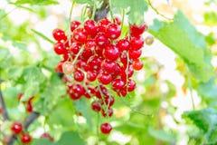 Röda vinbär Royaltyfri Fotografi