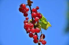 Röda vinbär Fotografering för Bildbyråer
