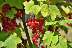 Röda vinbär Arkivfoto