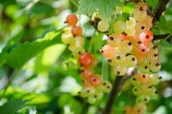 Röda vinbär i solen på en buske royaltyfri fotografi