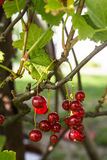 Röda vinbär i trädgård Royaltyfri Bild