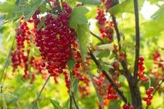 Röda vinbär i trädgården arkivbild