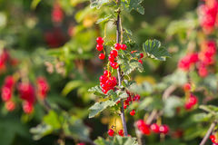 Röda vinbär i trädgården Royaltyfri Foto