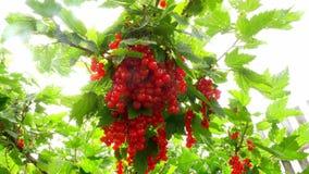 Röda vinbär i trädgården Bush av bär för röd vinbär En grupp av röda vinbär på en filial arkivfilmer