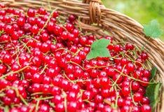 Röda vinbär, organiska röda bär Arkivbilder