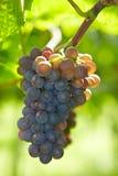 Röda vinedruvor i nedgång Arkivbild
