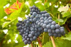 Röda vinedruvor som hänger i vingård Arkivbild