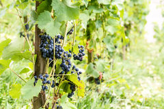 Röda vinrankadruvor i Schweiz i sommar Arkivbild