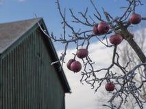 Röda vinteräpplen på ett träd royaltyfri bild