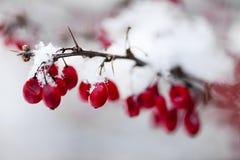 Röda vinterbär under snö royaltyfri bild