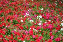Röda, violetta och vita blommor royaltyfri foto