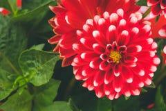Röda vita dahliablommor royaltyfria bilder