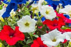 Röda, vita och blåa petunior Arkivfoton