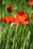 röda weeds Arkivbild