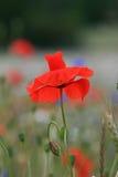 röda weeds Royaltyfria Foton